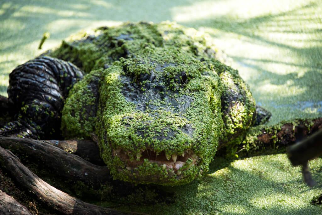 alligatorgrowl