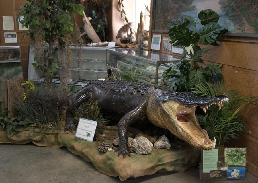 Alligator Taxidermy