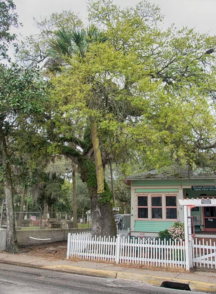 love trees st augustine