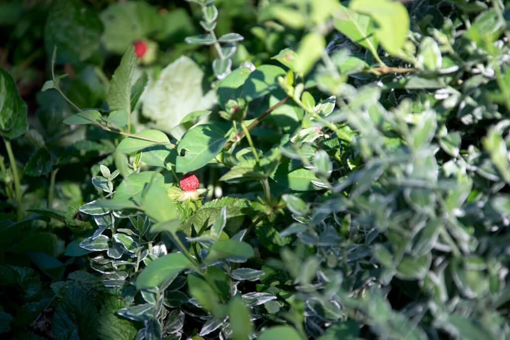 queenannegardenstrawberry