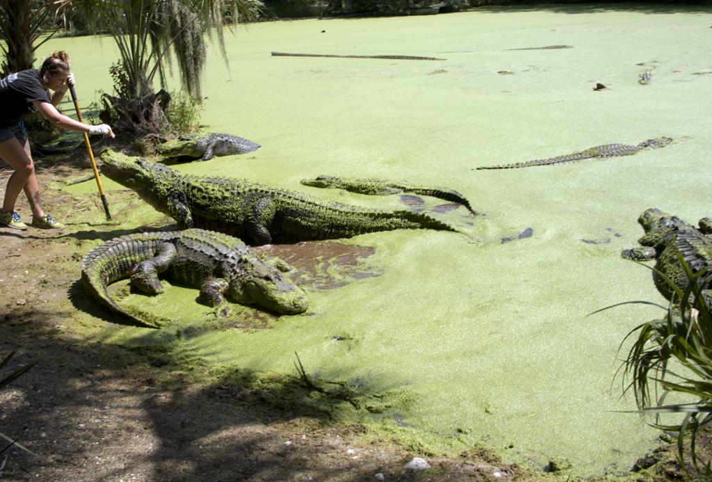 feedingalligator