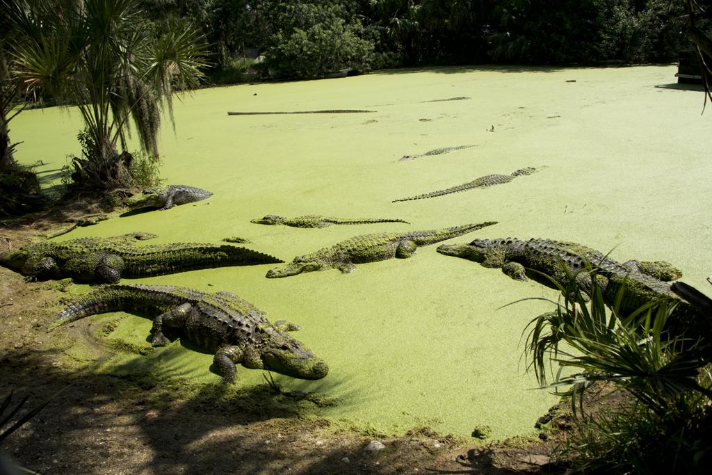 gator-pond